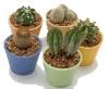 group of cacti in planters