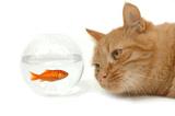 cat staring at fish in fishbowl
